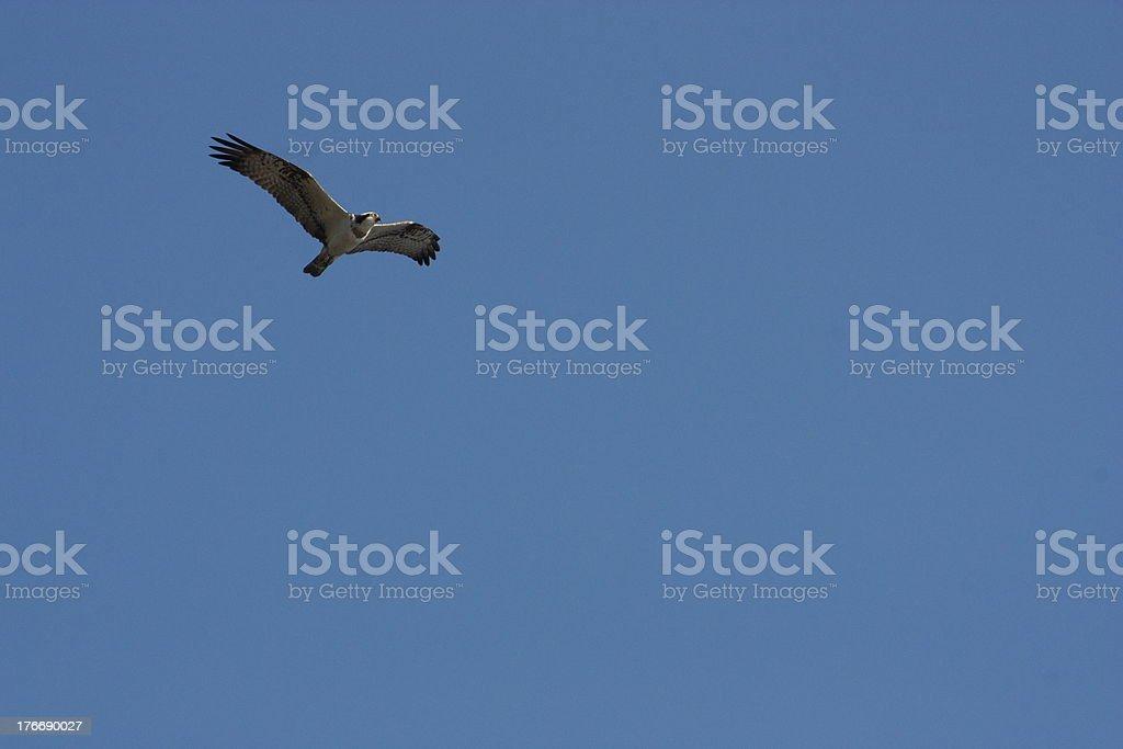 Osprey Verandah foto de stock libre de derechos