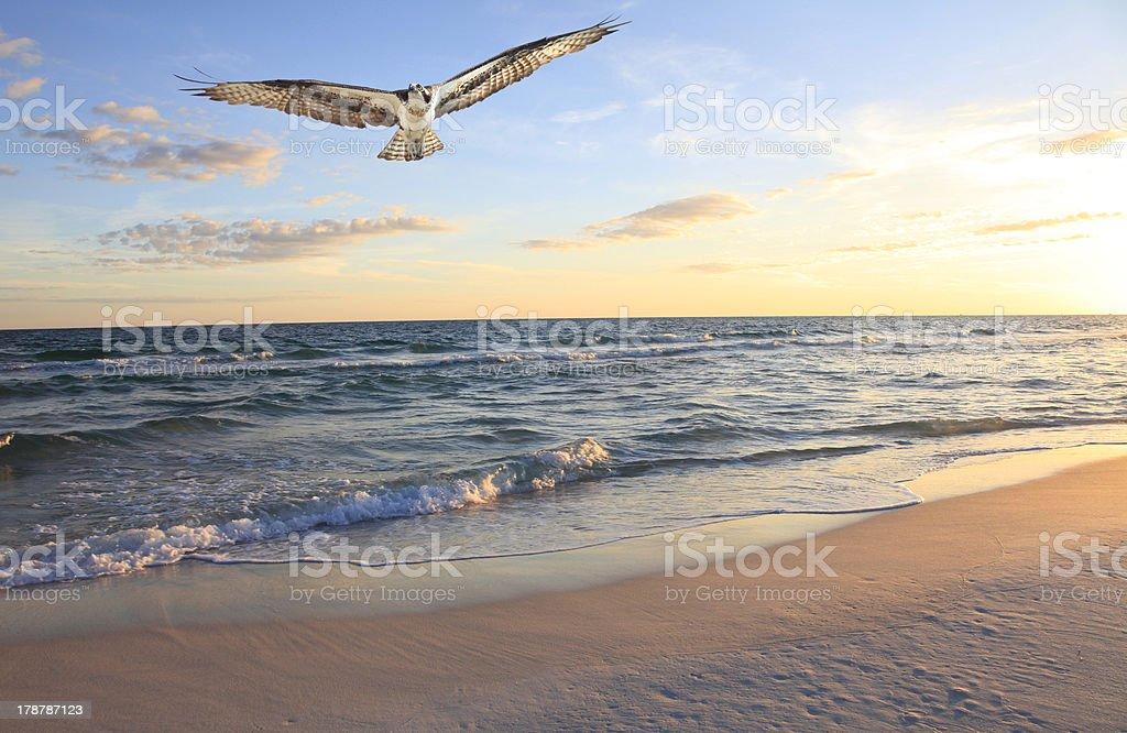 Osprey Returning From Fishing at Sunrise stock photo