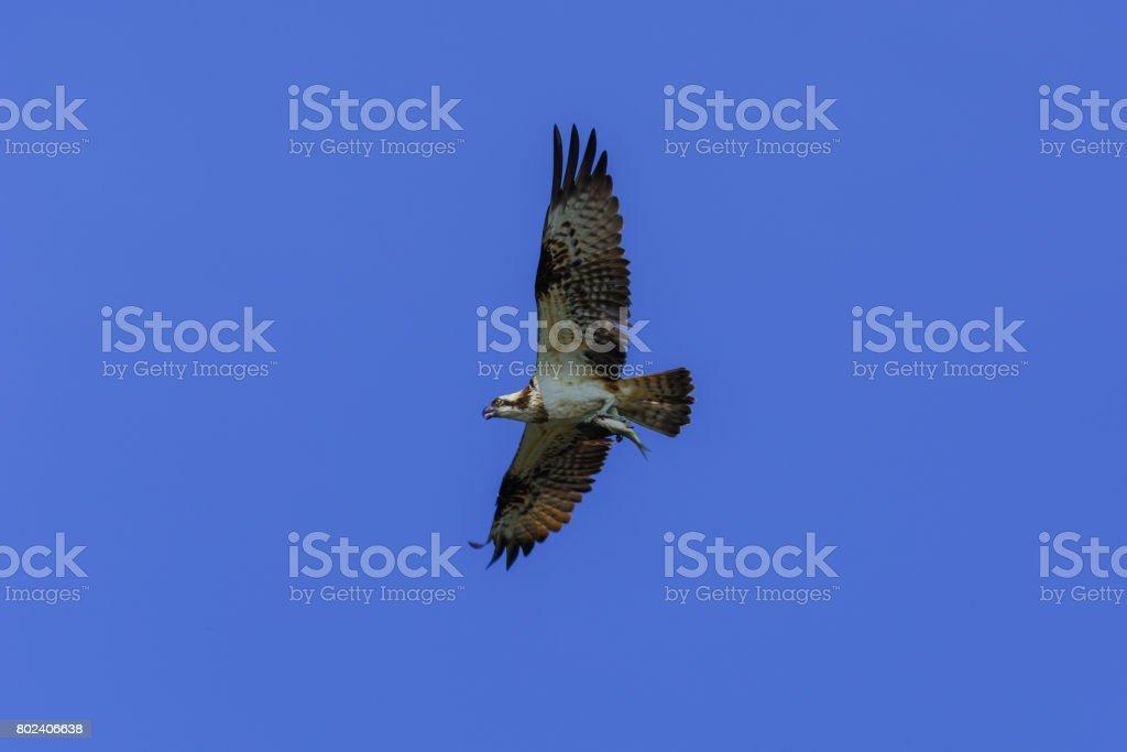 Osprey, Sea hawk, Fish eagle(Pandion haliaetus) stock photo