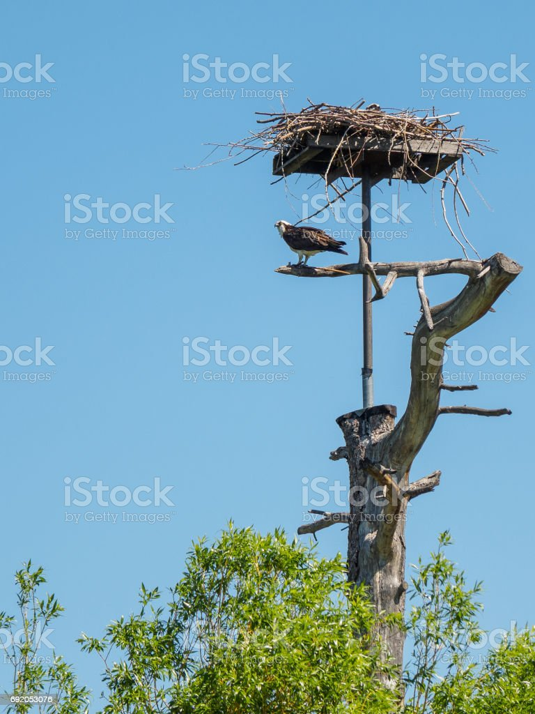 Osprey sitting at his nest stock photo