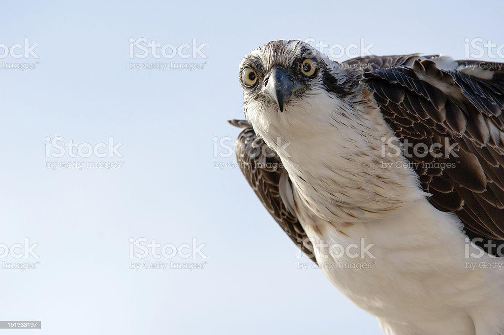 AN osprey staring into the camera stock photo
