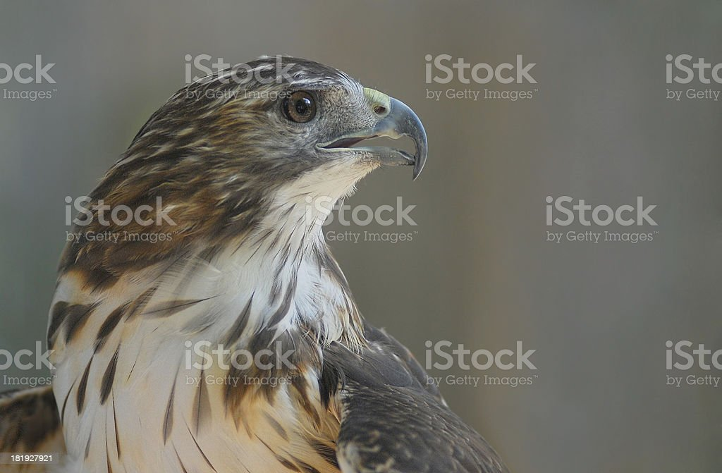 Osprey with a clean background royalty-free stock photo