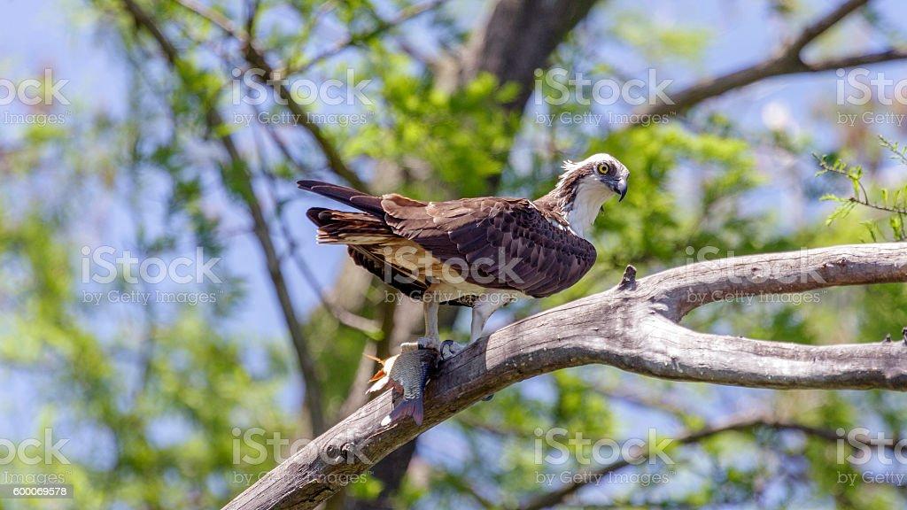 Osprey with Catch stock photo