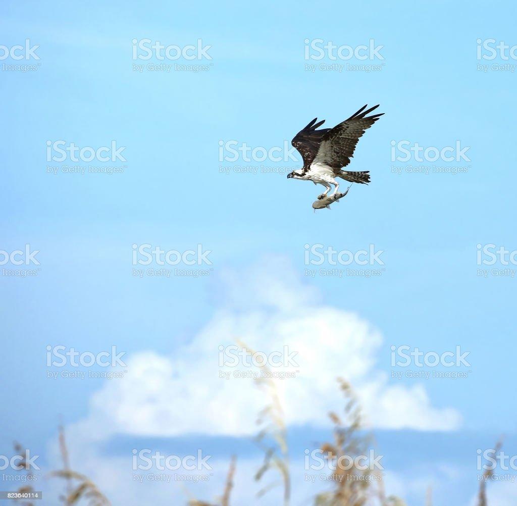 Osprey with catfish dinner stock photo
