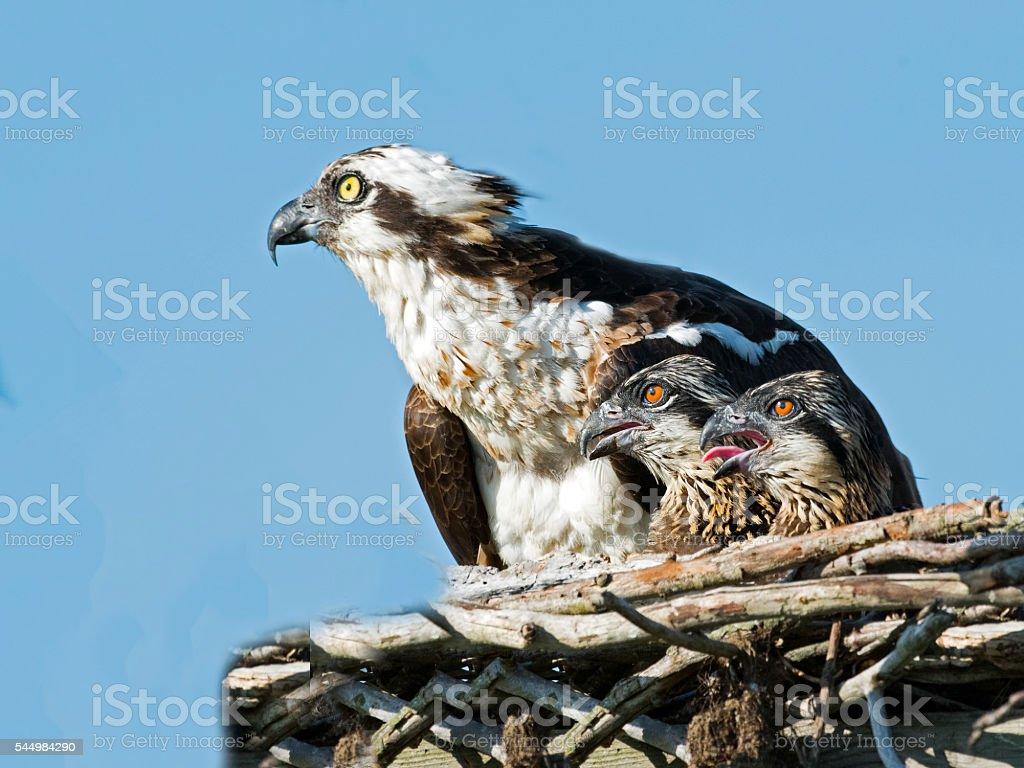 Osprey with Chicks stock photo