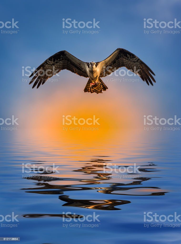 Osprey with Fish at Sunset Reflection in the water stock photo