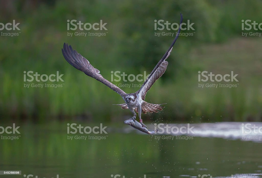 Osprey with fish stock photo