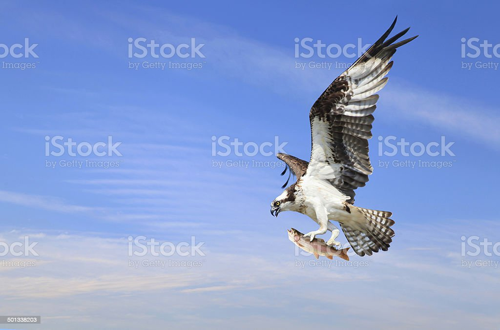 Osprey With Flying with It's Catch of a Rainbow Trout stock photo