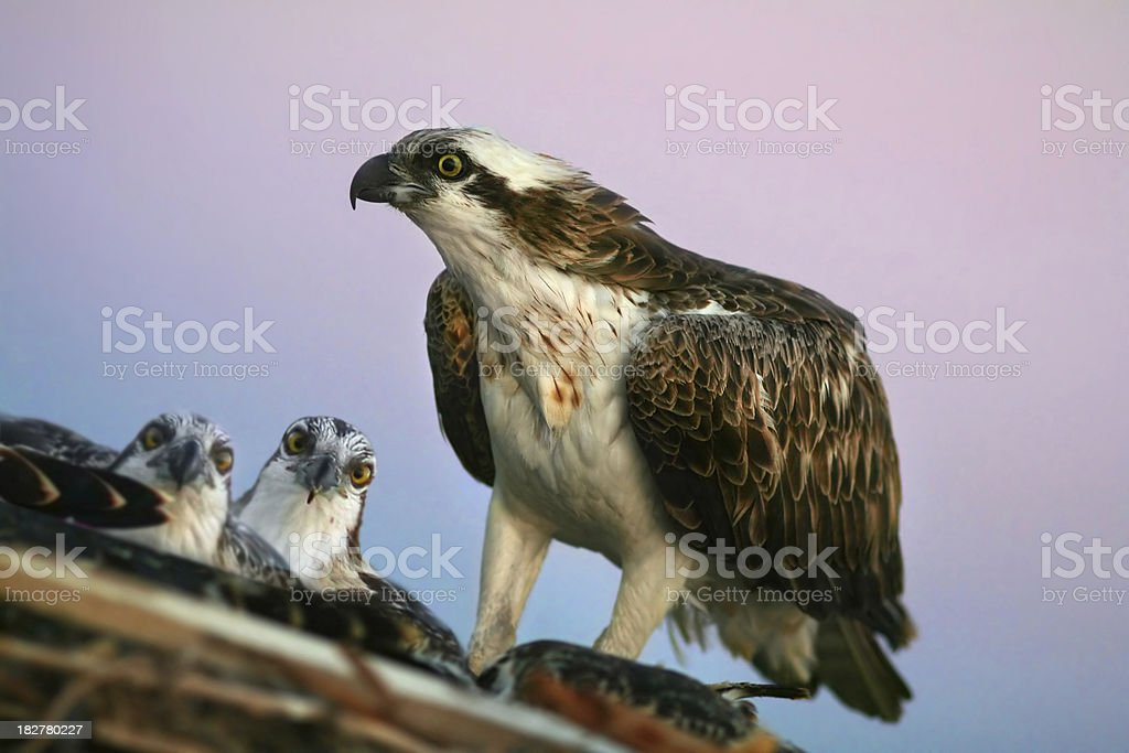 osprey with his curious chicks stock photo