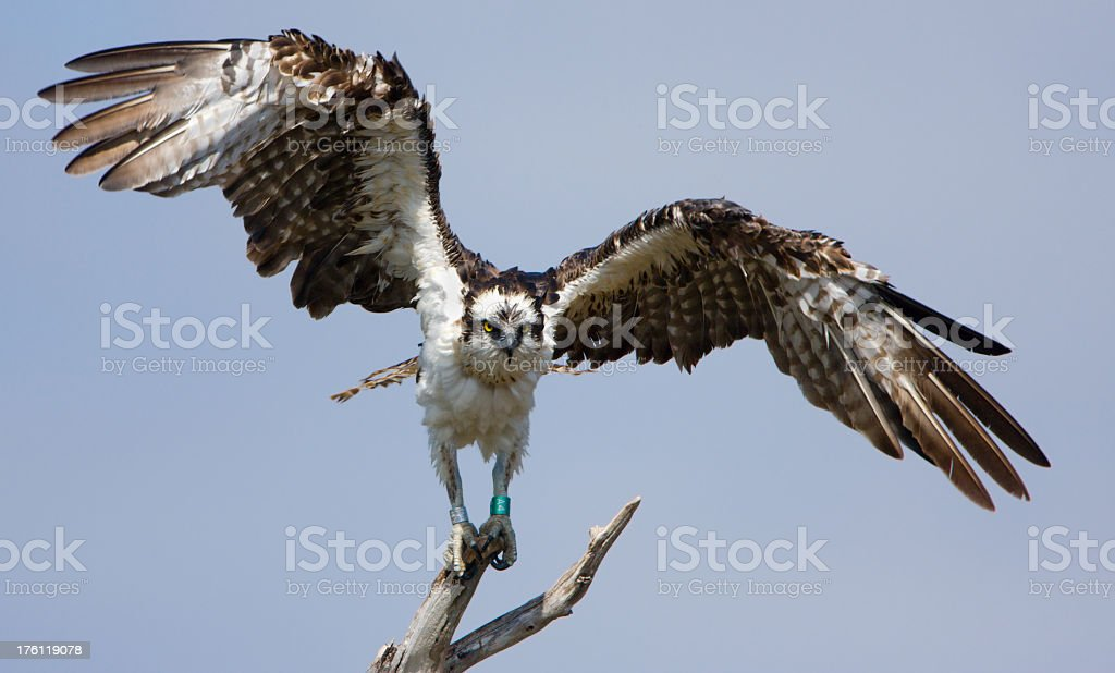 Osprey with Out Stretched Wings stock photo