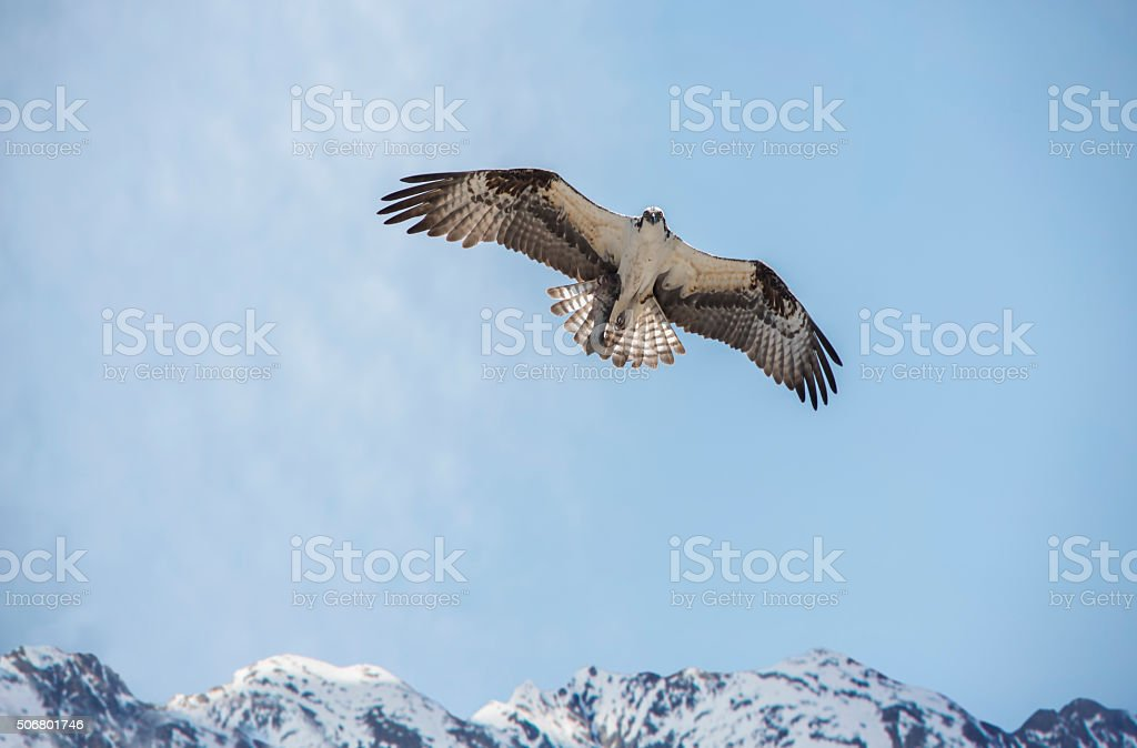 Osprey in the sky with trout over mountains