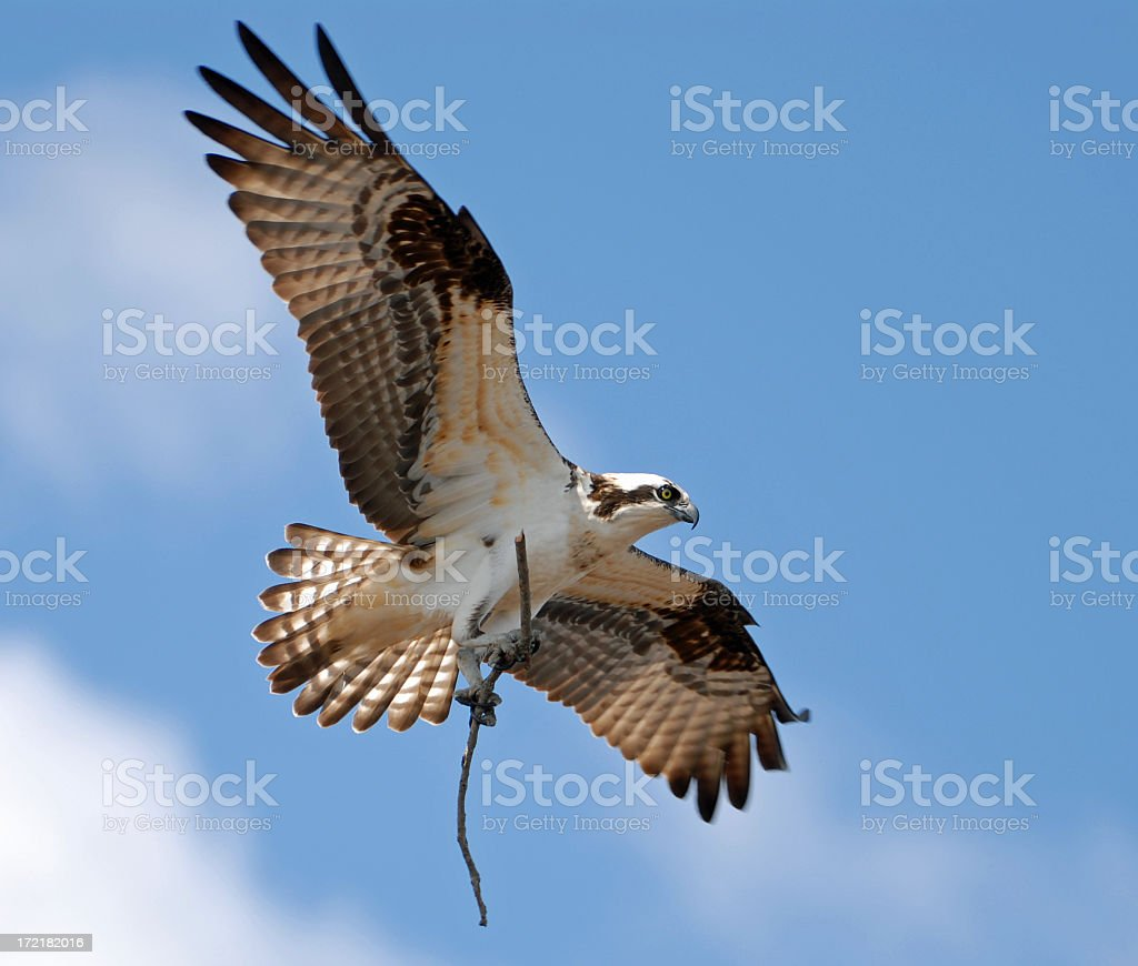 Osprey with wings outstretched and a branch in its talons stock photo