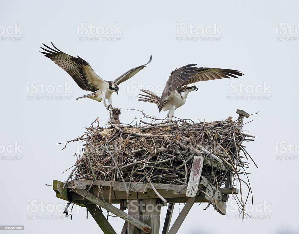 Ospreys building their nest, Jamaica Bay, Queens, NY stock photo