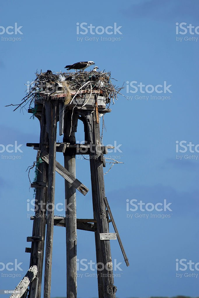 Ospreys on Nest royalty-free stock photo