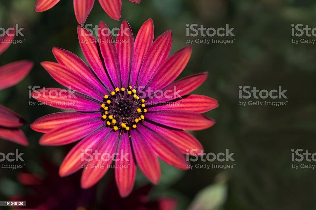 Osteaspermum 'Elite Ruby' Flowers stock photo