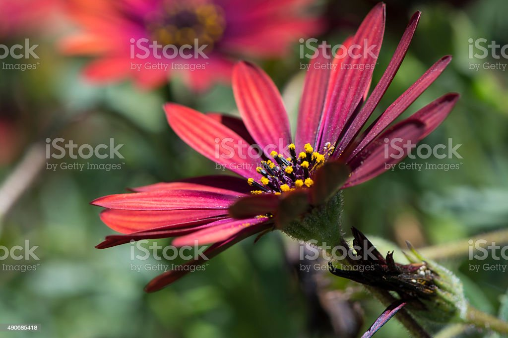 Osteaspermum 'Elite Ruby' stock photo