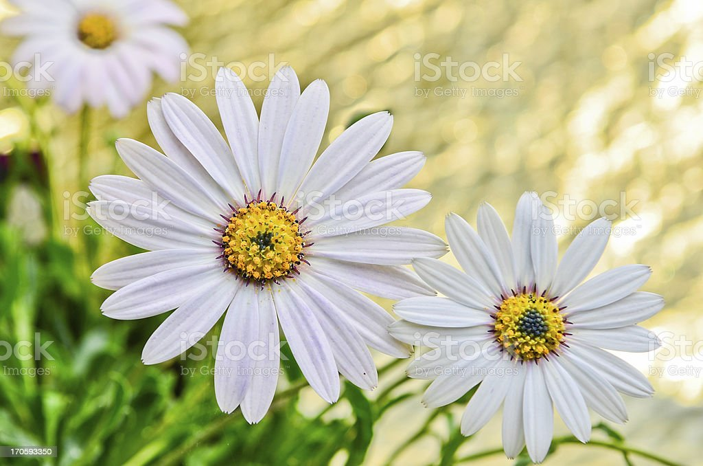 Osteospermum Daisy flower royalty-free stock photo