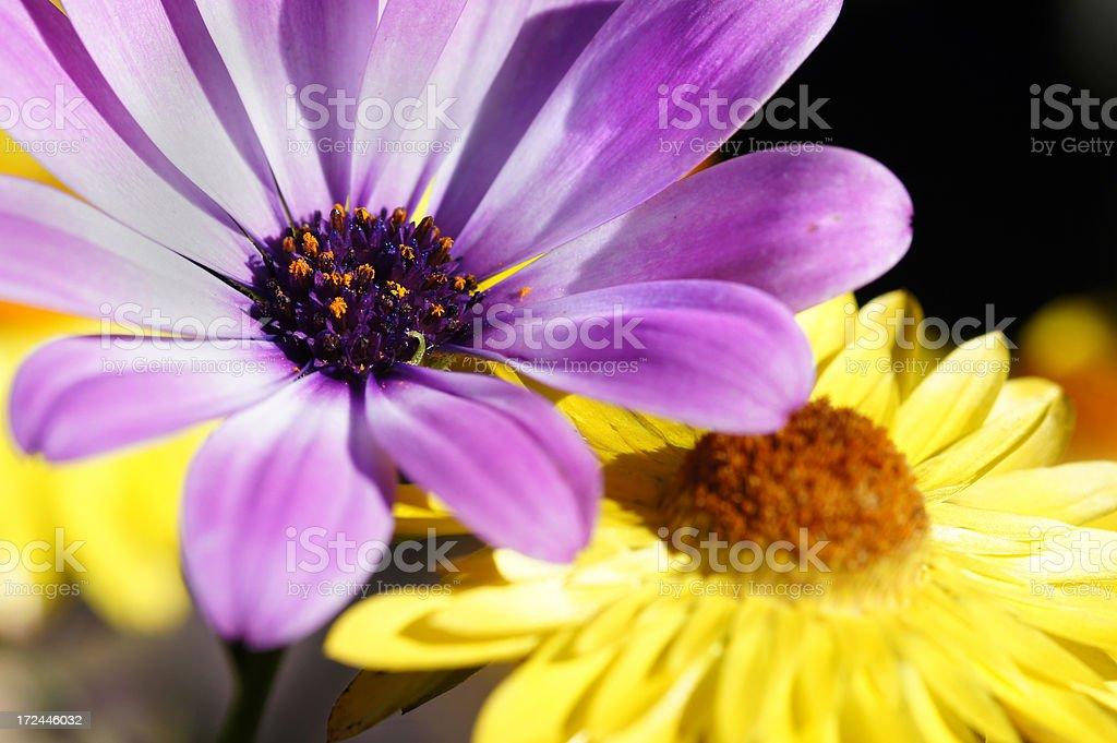 Osteospermum ecklonis flower stock photo