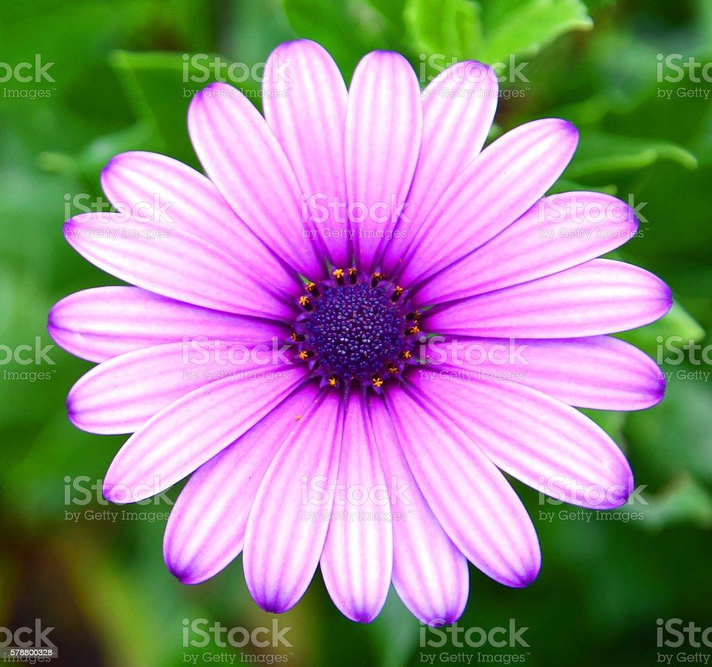 Osteospermum ecklonis, Purple African Daisy stock photo