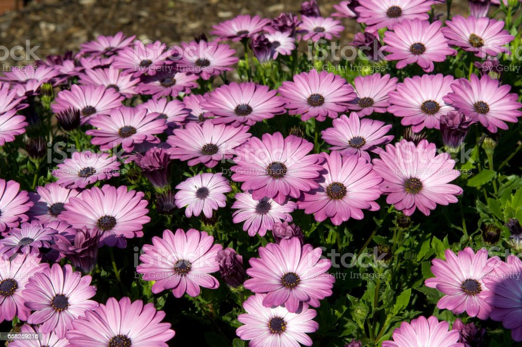 Osteospermum ecklonis, Springstar Dark Pink stock photo