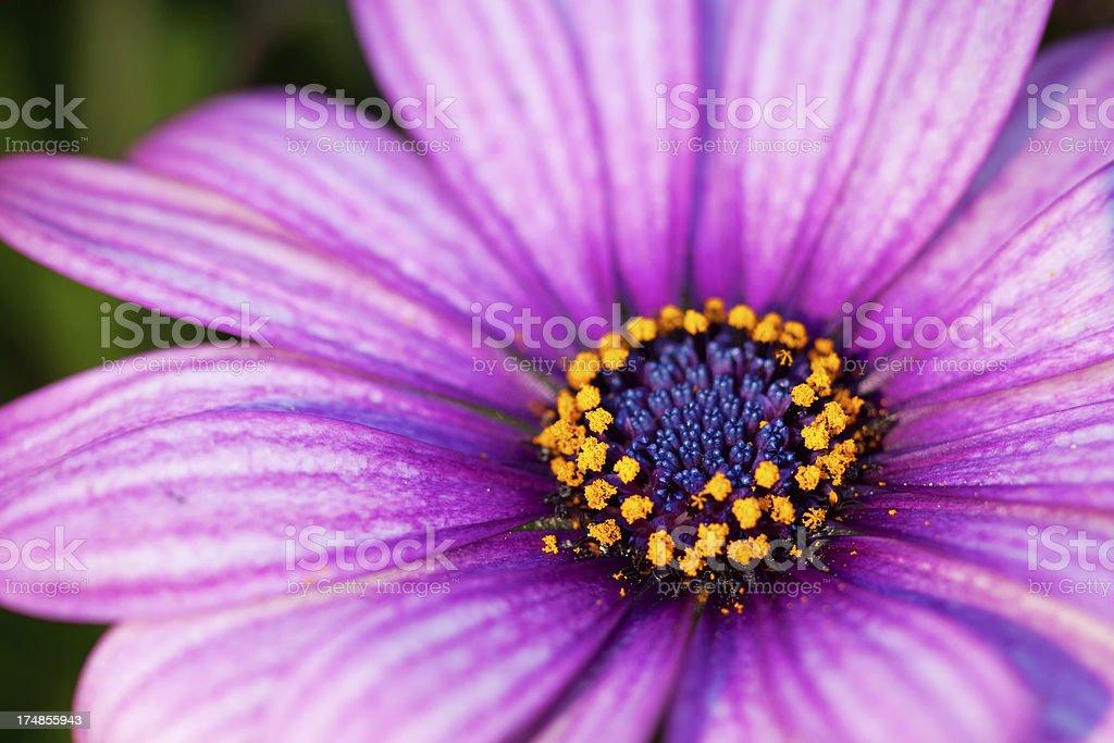 Osteospermum royalty-free stock photo