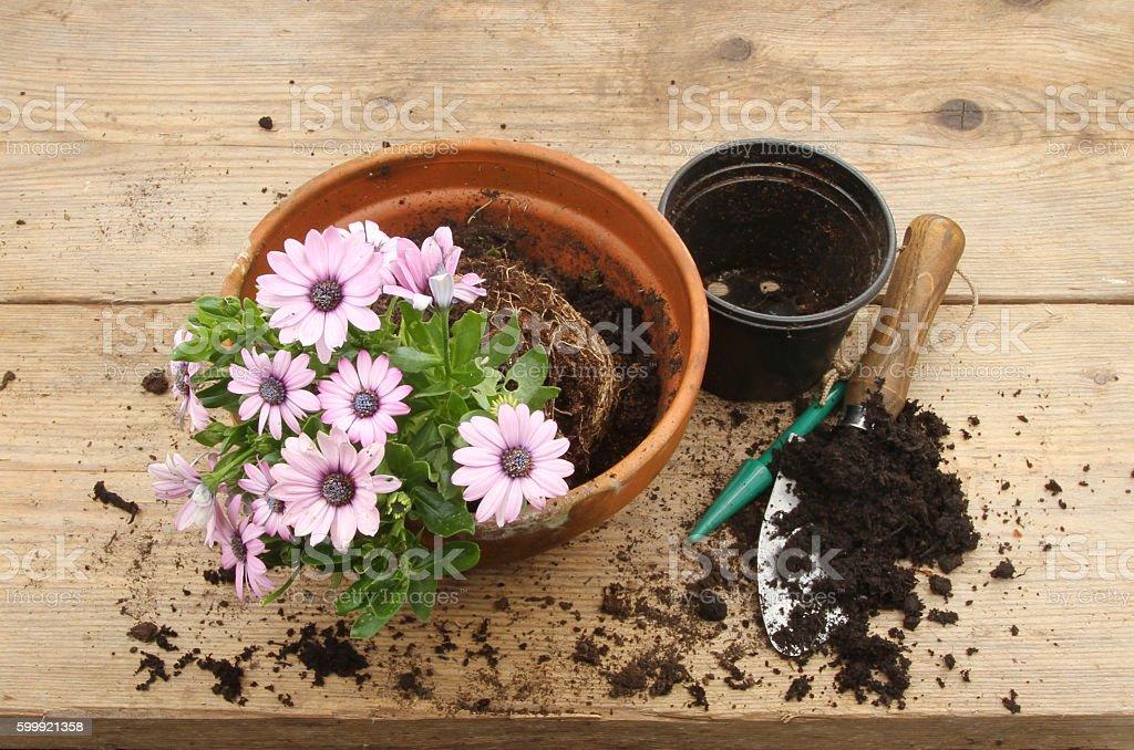 Osteospermum plant on a potting bench stock photo