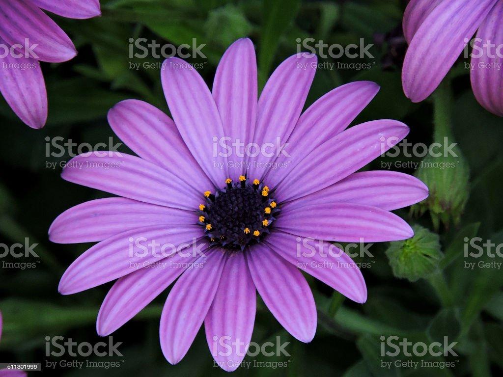 Osteospermum - purple daisy flower stock photo