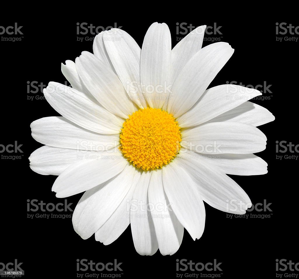 Osteospermum - White Daisy Isolated on Black Background royalty-free stock photo