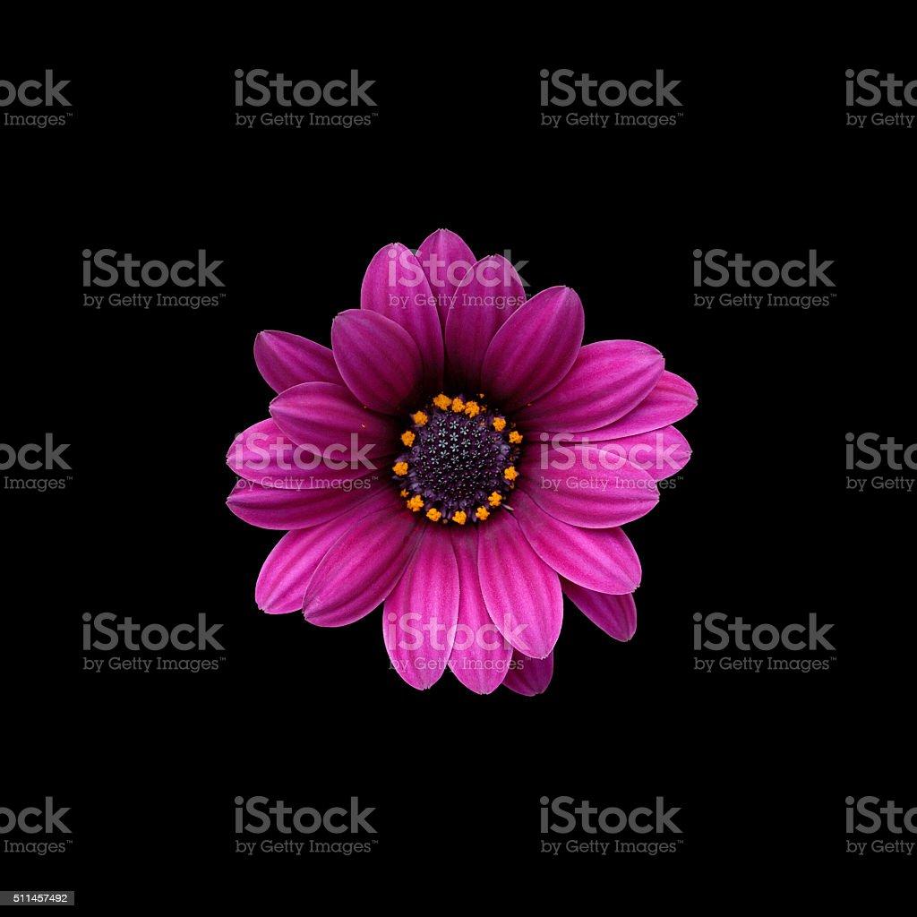 Osteosperumum flower daisy stock photo