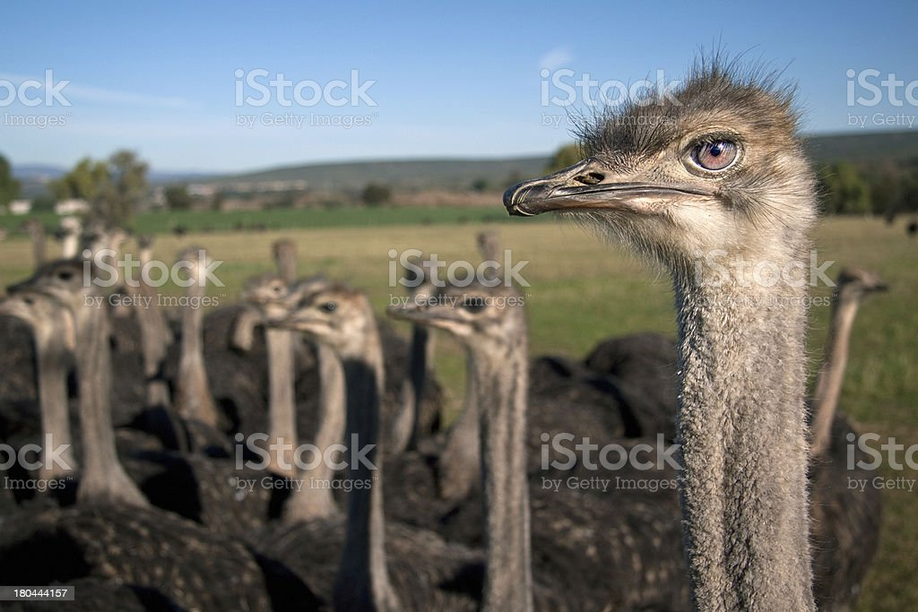 ostich royalty-free stock photo