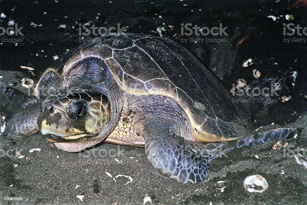 Ostional Sea Turtle stock photo