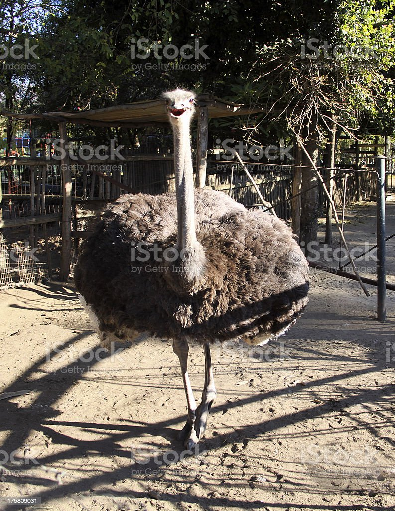 Ostrich Approach royalty-free stock photo