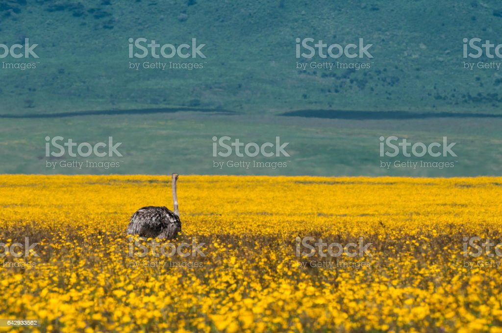 ostrich at ngorongoro Crater, tanzania, Africa stock photo