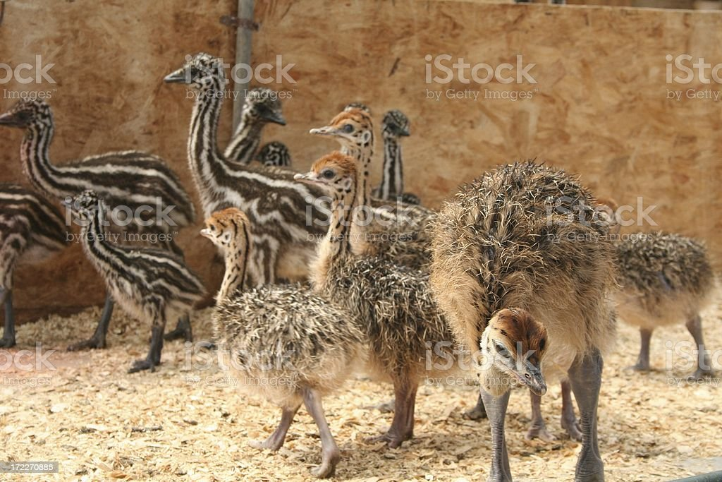 Ostrich Babies royalty-free stock photo