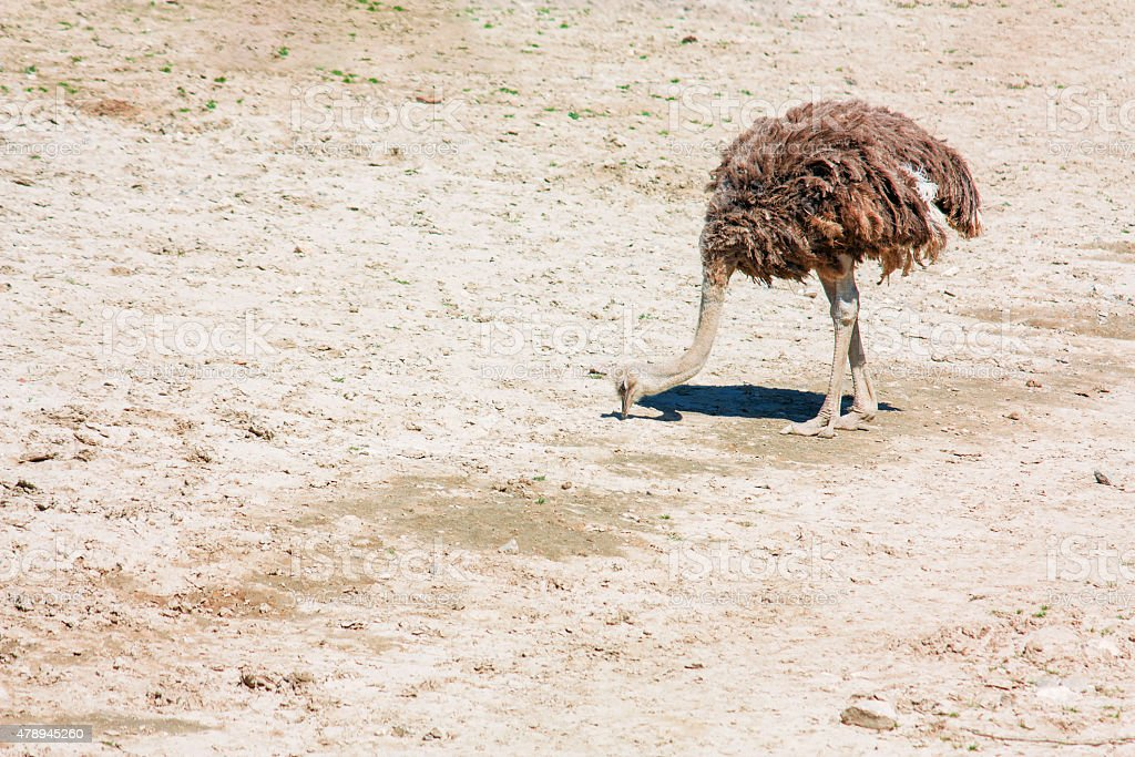 ostrich, beautiful in nature animal photograph stock photo