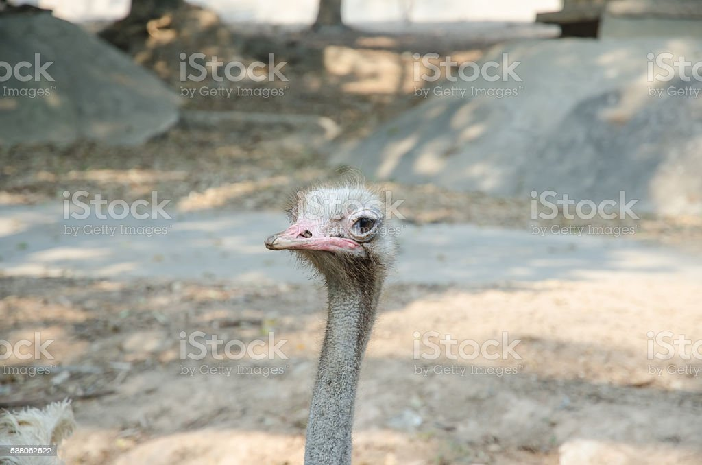 ostrich bird and neck in the park stock photo