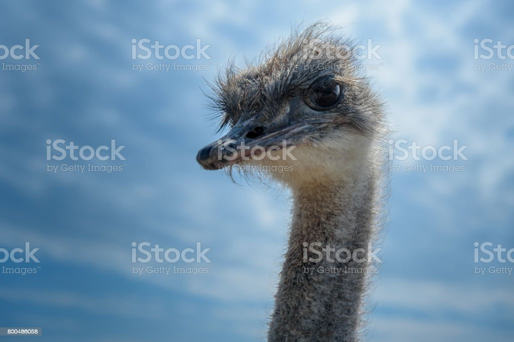 ostrich bird head and neck close up on blue sky background stock photo
