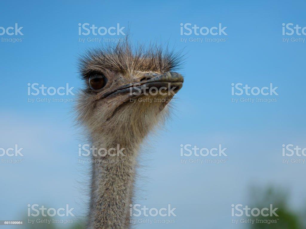 ostrich bird head close up on blue sky background stock photo