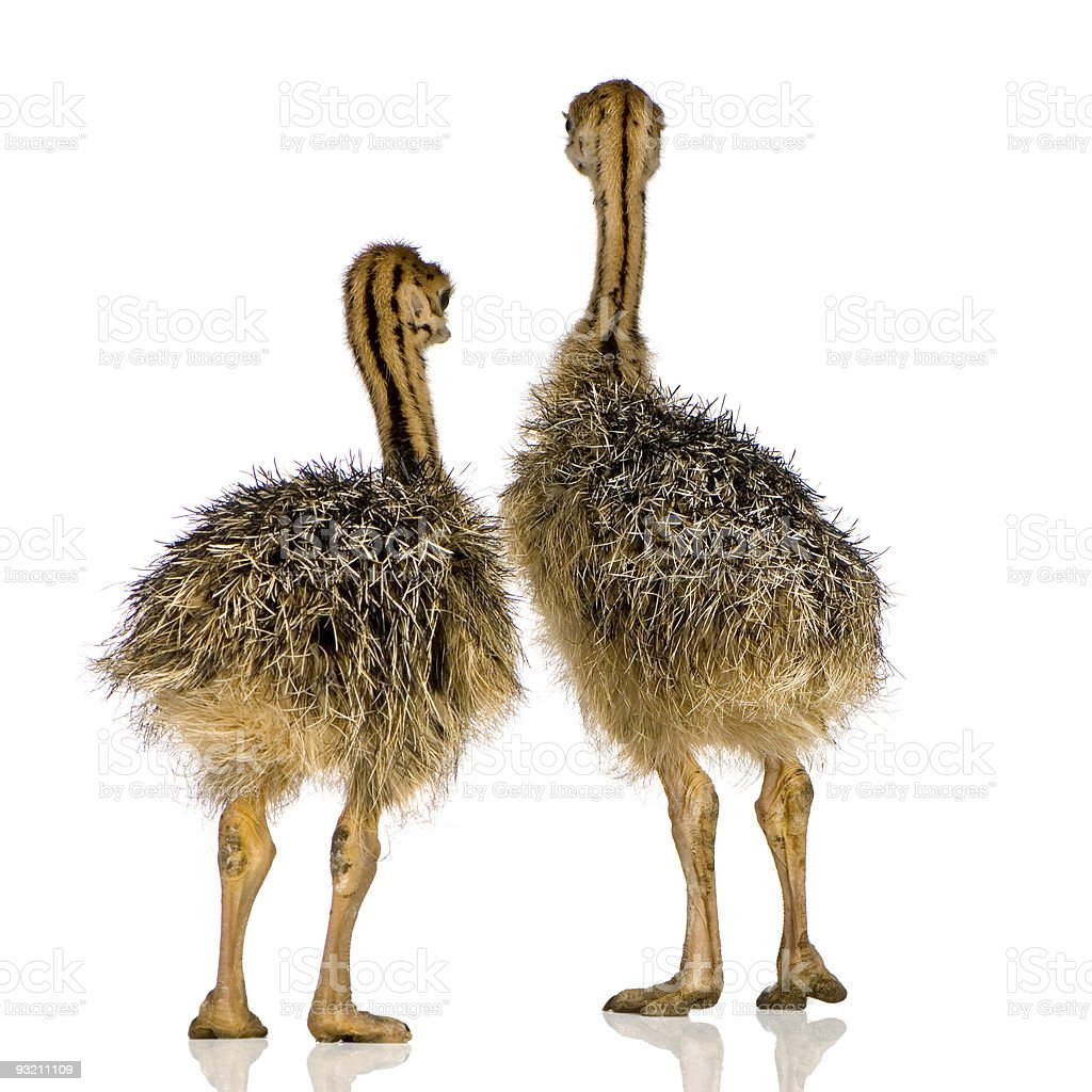 Ostrich Chick royalty-free stock photo