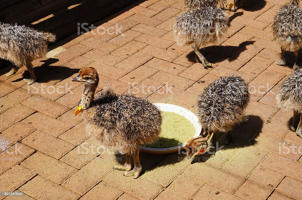 Ostrich chicks in Cape Town, South Africa stock photo