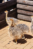 Ostrich chicks in Cape Town, South Africa