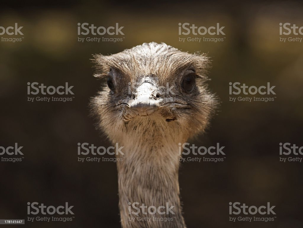 Ostrich classic portrait royalty-free stock photo
