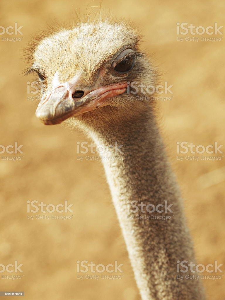 Ostrich close up stock photo