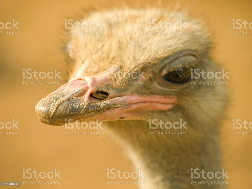 Ostrich close up stock photo