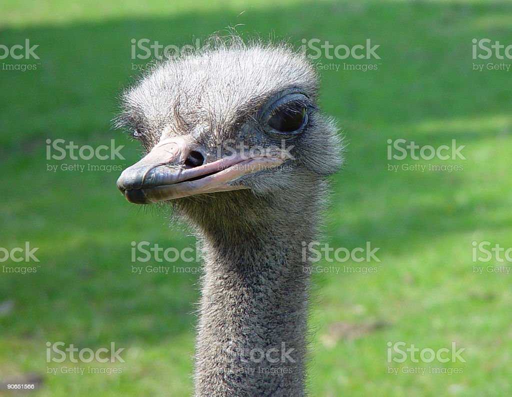 Ostrich Close Up royalty-free stock photo