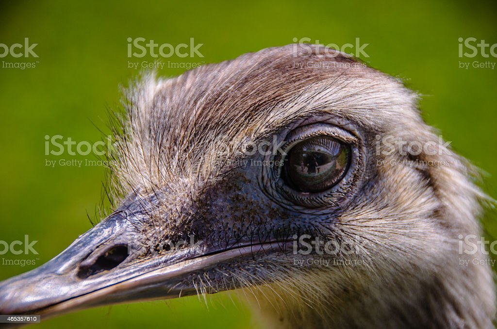 Ostrich Closeup stock photo