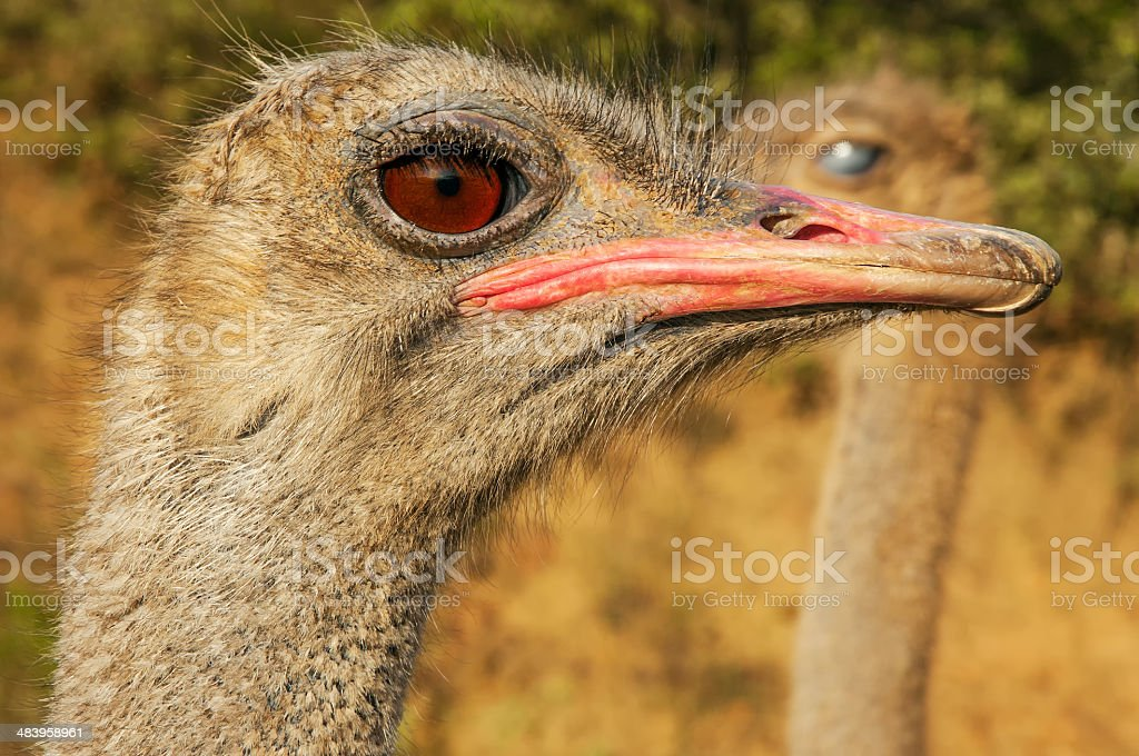 Ostrich Closeup royalty-free stock photo