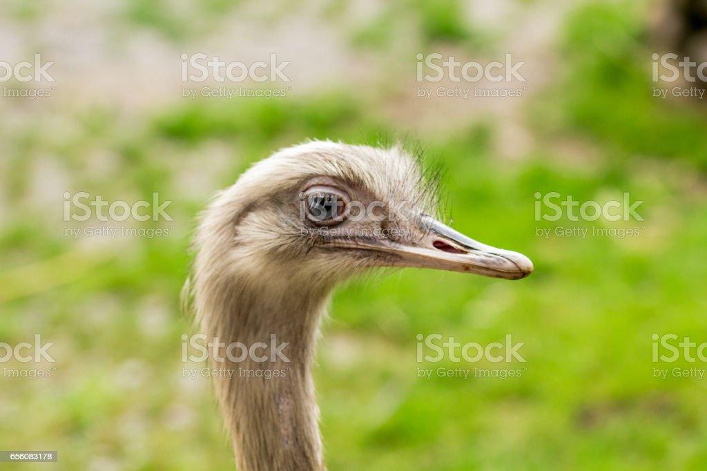 Ostrich close-up stock photo
