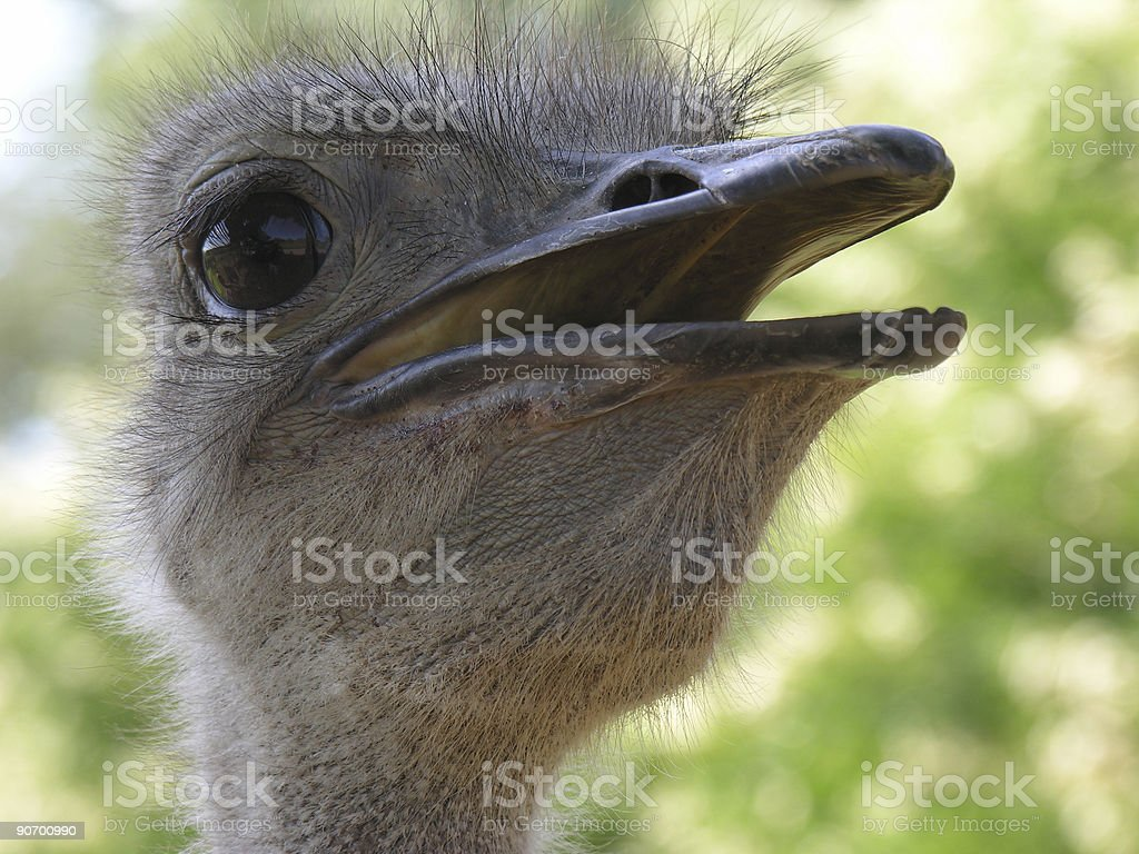 Ostrich close-up stock photo