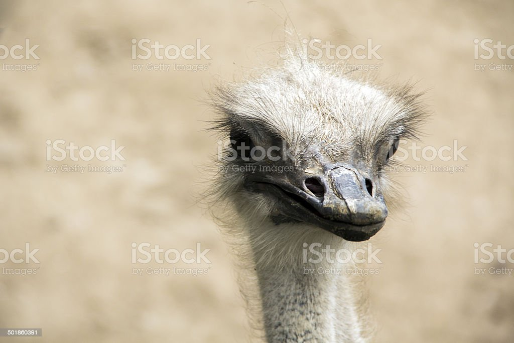 Ostrich dead on stock photo